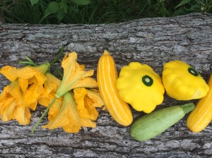 Sunburst squash in all of its glory with its decorative and delicious flowers.